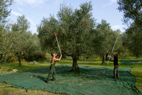 olios olive recolte koroneiki grece