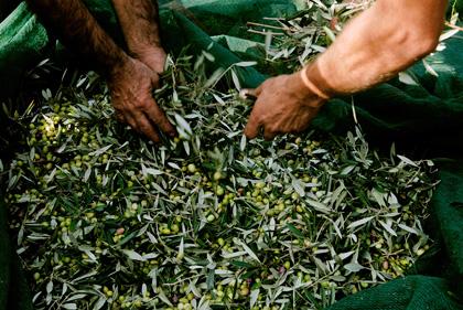 Les olives sont triées à la main afin d'éliminer de la récolte celles qui pourraient gâter le goût de l'huile.