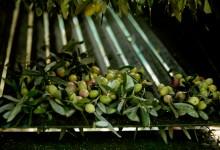 olives-olios-5