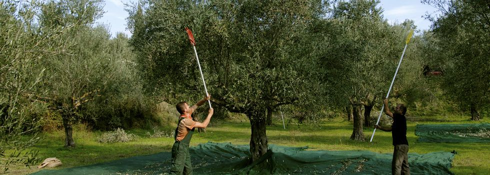 recolte-olive-koroneiki